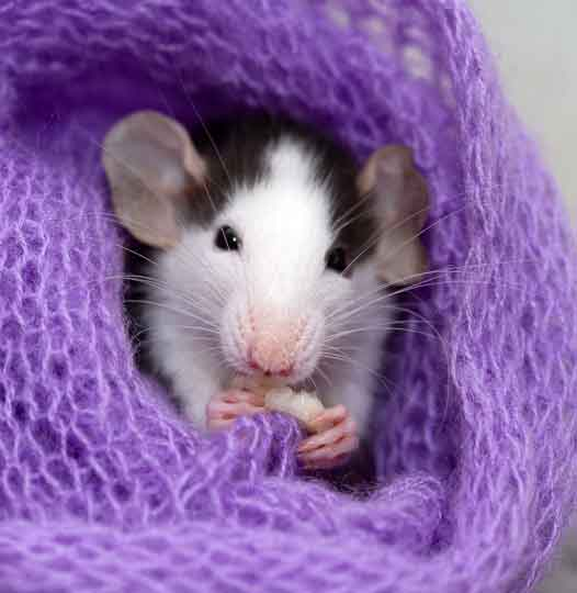 Rodent Pest Control Melbourne